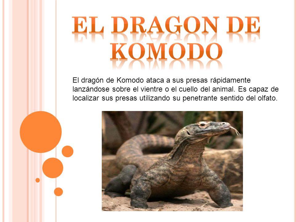 El dragón de Komodo ataca a sus presas rápidamente lanzándose sobre el vientre o el cuello del animal.