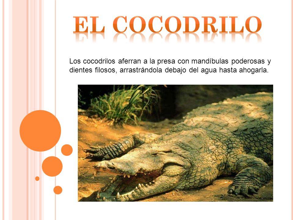 Los cocodrilos aferran a la presa con mandíbulas poderosas y dientes filosos, arrastrándola debajo del agua hasta ahogarla.