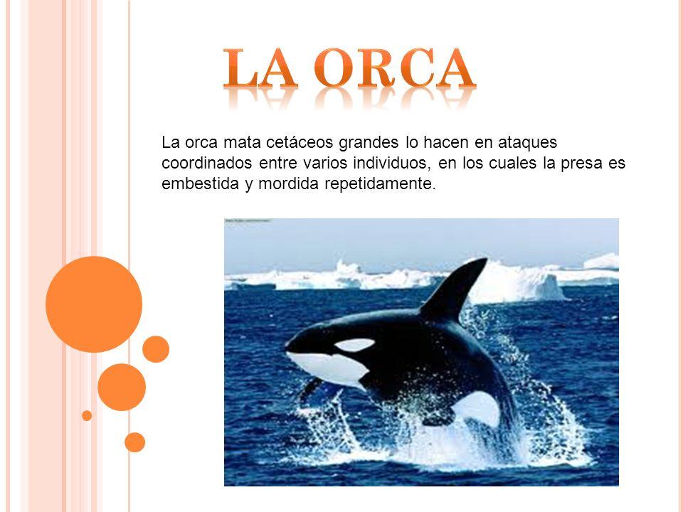 La orca mata cetáceos grandes lo hacen en ataques coordinados entre varios individuos, en los cuales la presa es embestida y mordida repetidamente.