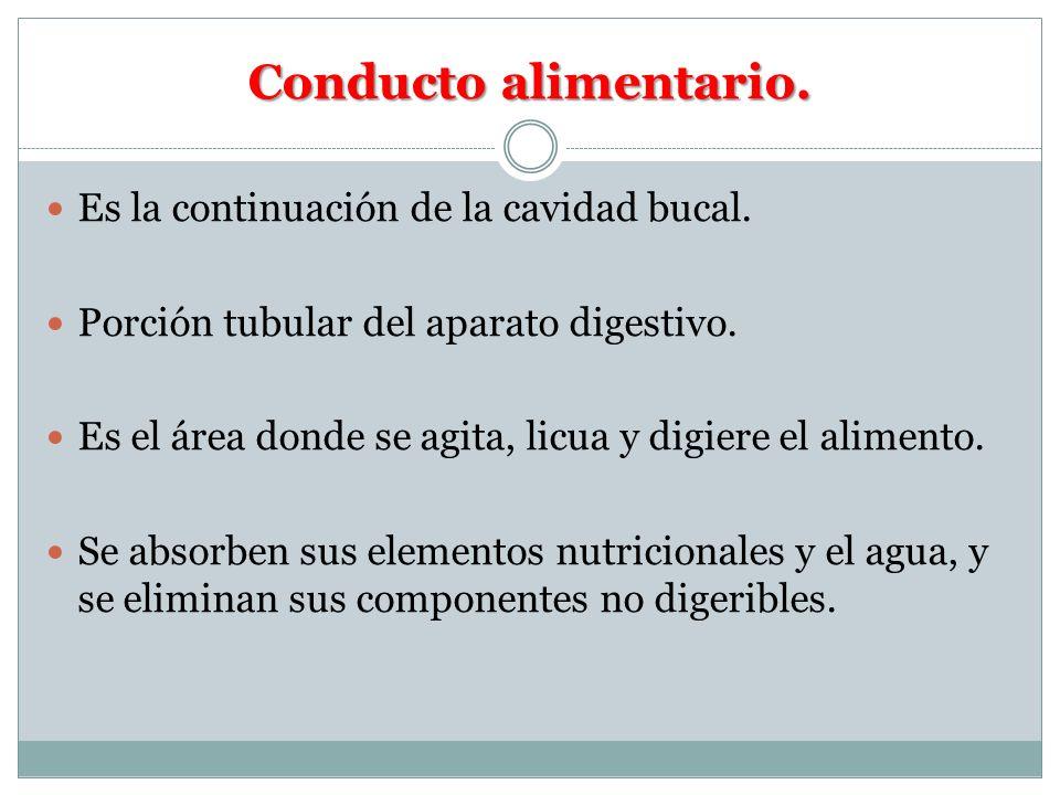 Conducto alimentario. Es la continuación de la cavidad bucal. Porción tubular del aparato digestivo. Es el área donde se agita, licua y digiere el ali