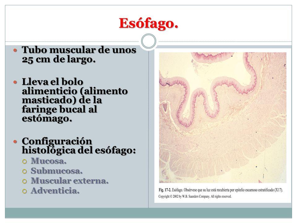 Esófago. Tubo muscular de unos 25 cm de largo. Tubo muscular de unos 25 cm de largo. Lleva el bolo alimenticio (alimento masticado) de la faringe buca