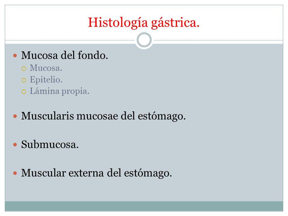 Histología gástrica. Mucosa del fondo. Mucosa. Epitelio. Lámina propia. Muscularis mucosae del estómago. Submucosa. Muscular externa del estómago.