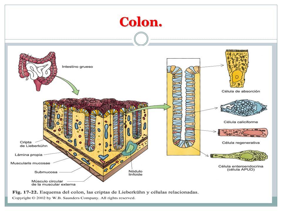 Colon.