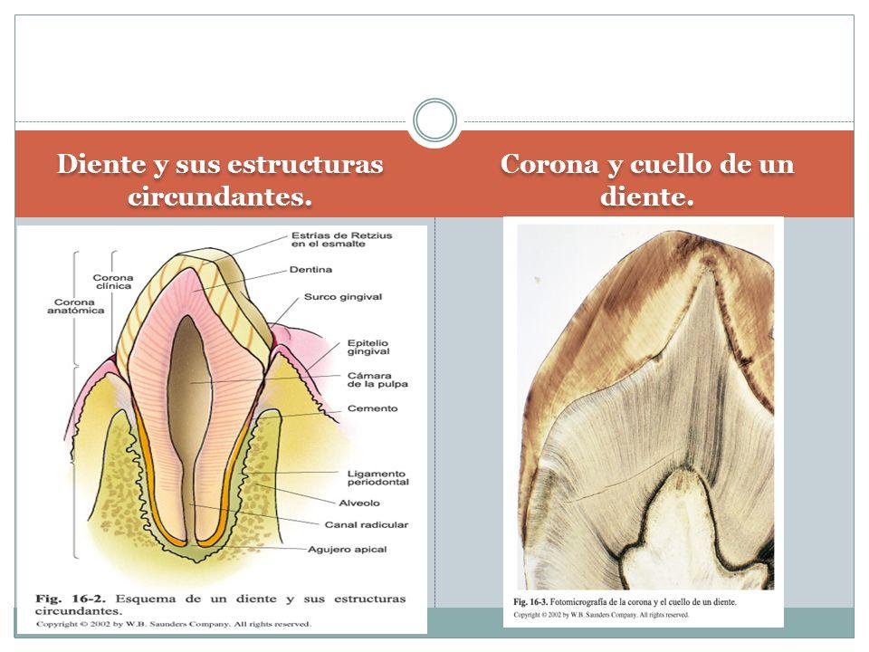 Diente y sus estructuras circundantes. Corona y cuello de un diente.