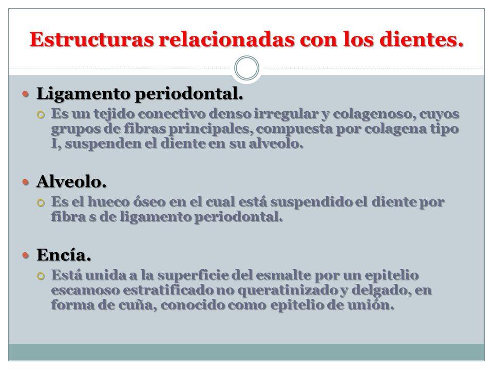 Estructuras relacionadas con los dientes. Ligamento periodontal. Ligamento periodontal. Es un tejido conectivo denso irregular y colagenoso, cuyos gru