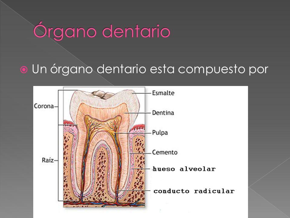 Un órgano dentario esta compuesto por