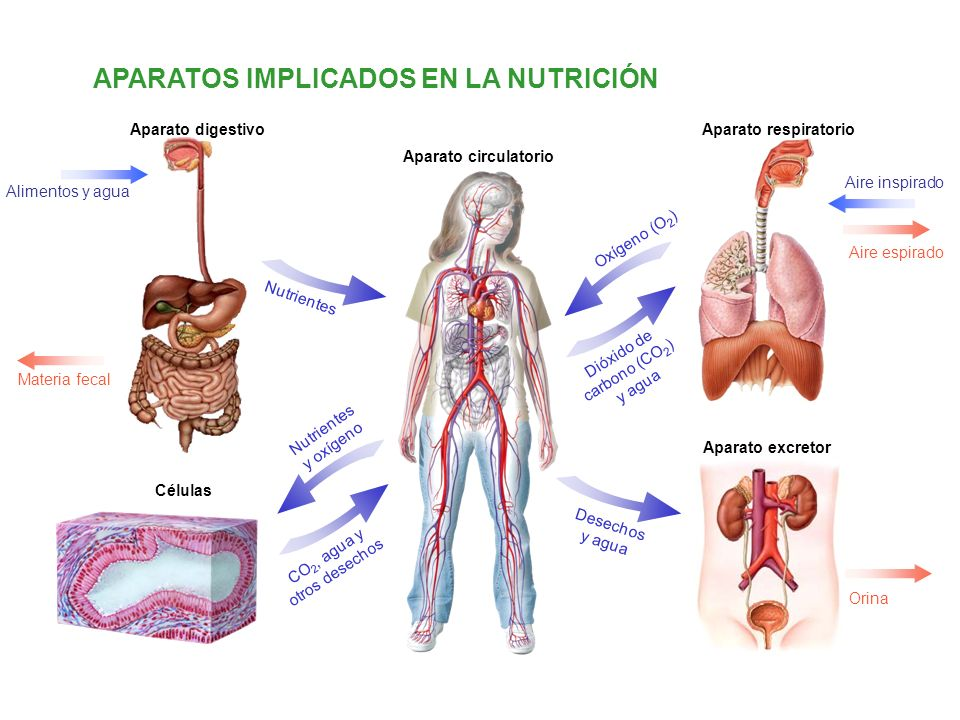 ANATOMÍA DEL APARATO DIGESTIVO Tubo digestivo Glándulas digestivas Glándulas salivales Parótidas Submaxilares Sublinguales Hígado Bilis Vesícula biliar Páncreas Jugo pancreático Boca Lengua Dientes Esófago Estómago Cardias (entrada) Píloro (salida) Jugo gástrico Intestino delgado Vellosidades intestinales Tres regiones: duodeno, yeyuno e ileon Intestino grueso Ano y apéndice vermiforme Tres regiones: ciego, colon y recto Faringe Epiglotis