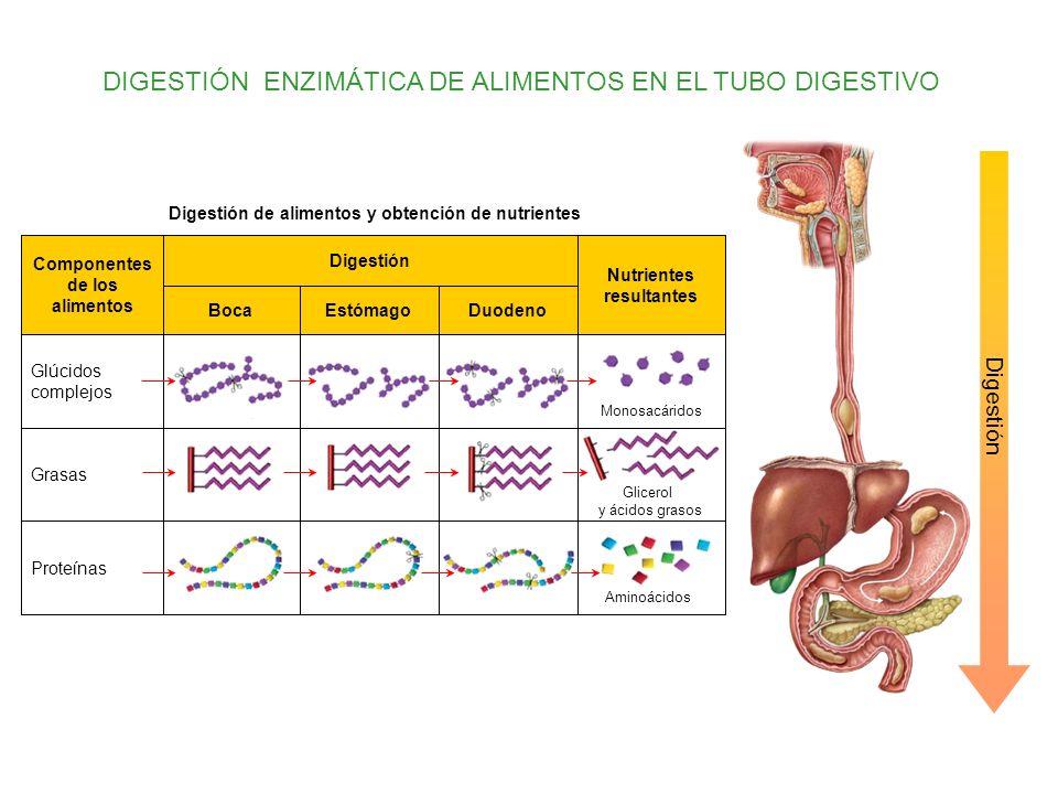 DIGESTIÓN ENZIMÁTICA DE ALIMENTOS EN EL TUBO DIGESTIVO Digestión DuodenoEstómagoBoca Proteínas Grasas Glúcidos complejos Nutrientes resultantes Digest