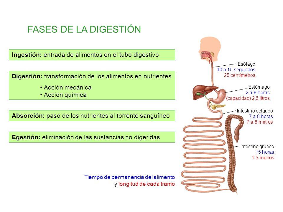 Egestión: eliminación de las sustancias no digeridas Digestión: transformación de los alimentos en nutrientes Acción mecánica Acción química FASES DE