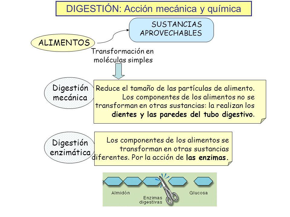 DIGESTIÓN: Acción mecánica y química ALIMENTOS SUSTANCIAS APROVECHABLES Transformación en moléculas simples Digestión mecánica Reduce el tamaño de las