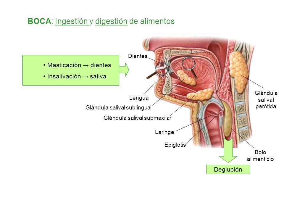Dientes BOCA: Ingestión y digestión de alimentos Masticación dientes Insalivación saliva Lengua Glándula salival parótida Bolo alimenticio Epiglotis L