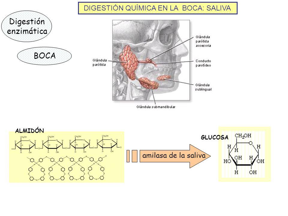 DIGESTIÓN QUÍMICA EN LA BOCA: SALIVA Digestión enzimática BOCA ALMIDÓN amilasa de la saliva GLUCOSA