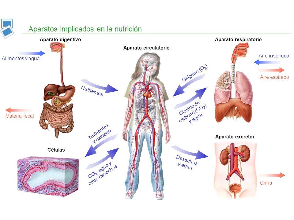 Aparatos implicados en la nutrición Aparato digestivoAparato respiratorio Aparato circulatorio Células Aparato excretor Alimentos y agua Materia fecal