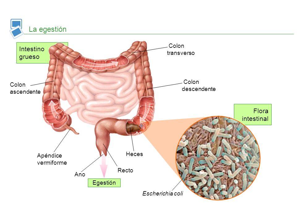 Flora intestinal Intestino grueso La egestión Ano Recto Heces Apéndice vermiforme Colon ascendente Colon transverso Colon descendente Escherichia coli