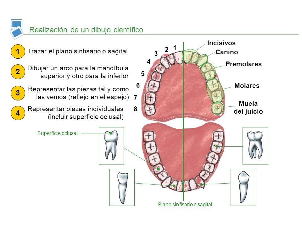 Realización de un dibujo científico 1 2 3 4 5 6 7 8 Incisivos Canino Premolares Molares Muela del juicio Plano sinfisario o sagital 1 Trazar el plano