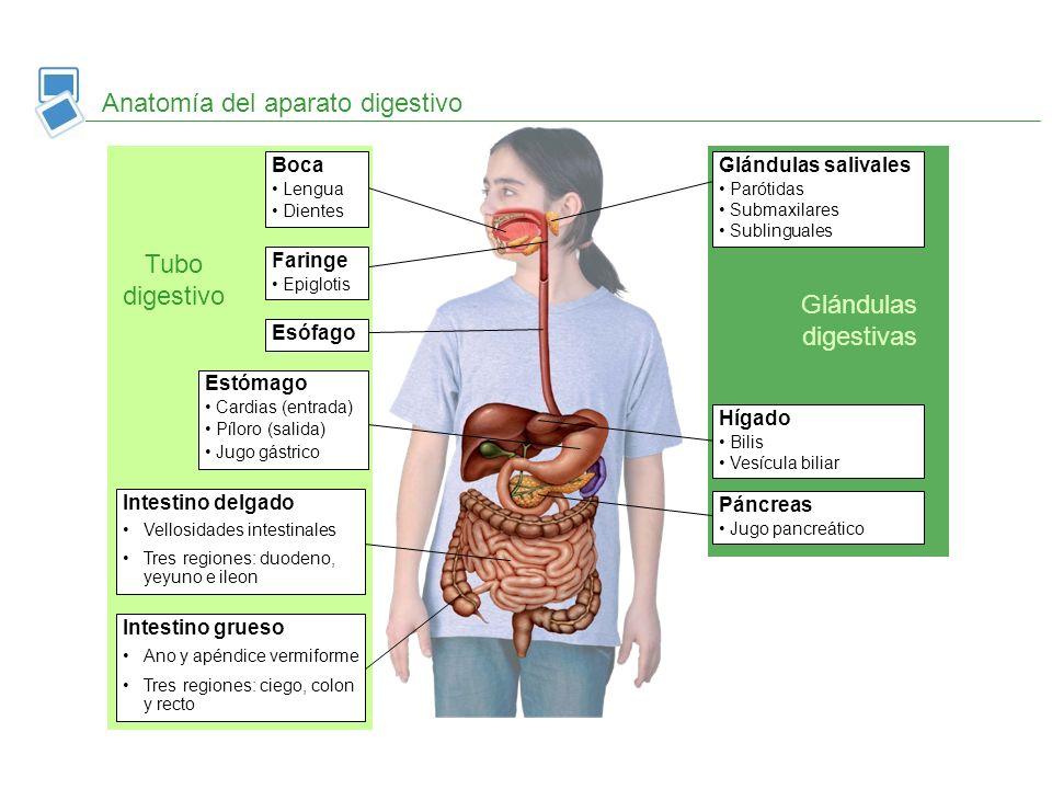 Anatomía del aparato digestivo Tubo digestivo Glándulas digestivas Glándulas salivales Parótidas Submaxilares Sublinguales Hígado Bilis Vesícula bilia