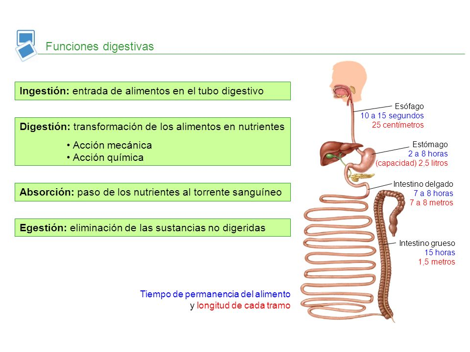Egestión: eliminación de las sustancias no digeridas Digestión: transformación de los alimentos en nutrientes Acción mecánica Acción química Funciones
