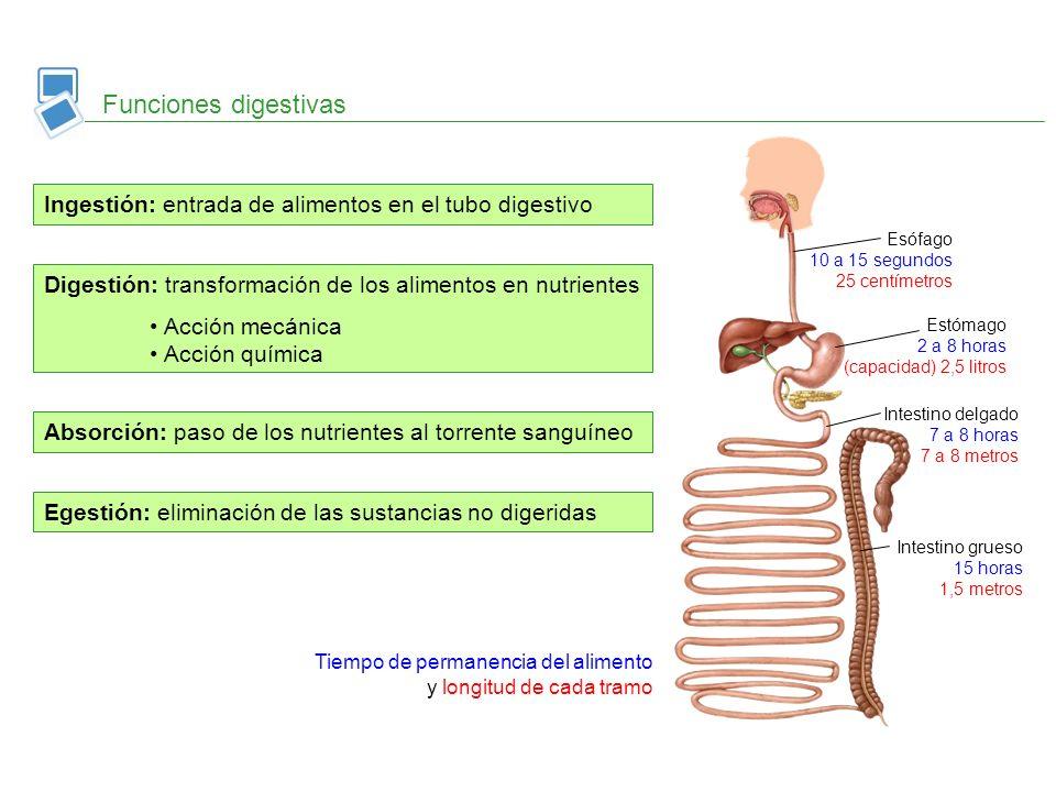 Flora intestinal Intestino grueso La egestión Ano Recto Heces Apéndice vermiforme Colon ascendente Colon transverso Colon descendente Escherichia coli Egestión