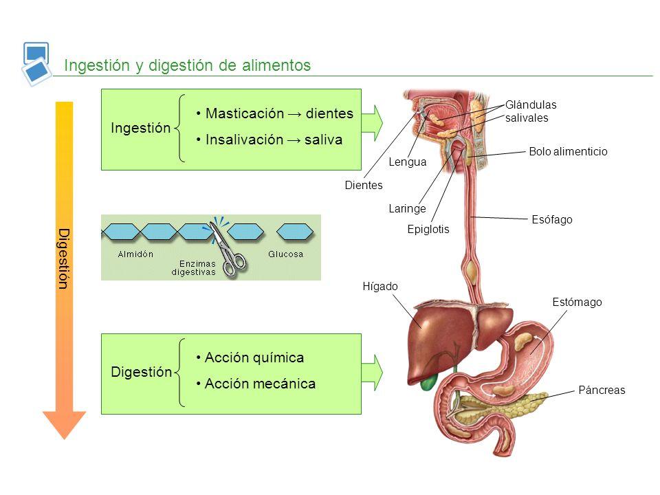 Ingestión y digestión de alimentos Digestión Ingestión Masticación dientes Insalivación saliva Lengua Dientes Glándulas salivales Bolo alimenticio Esó