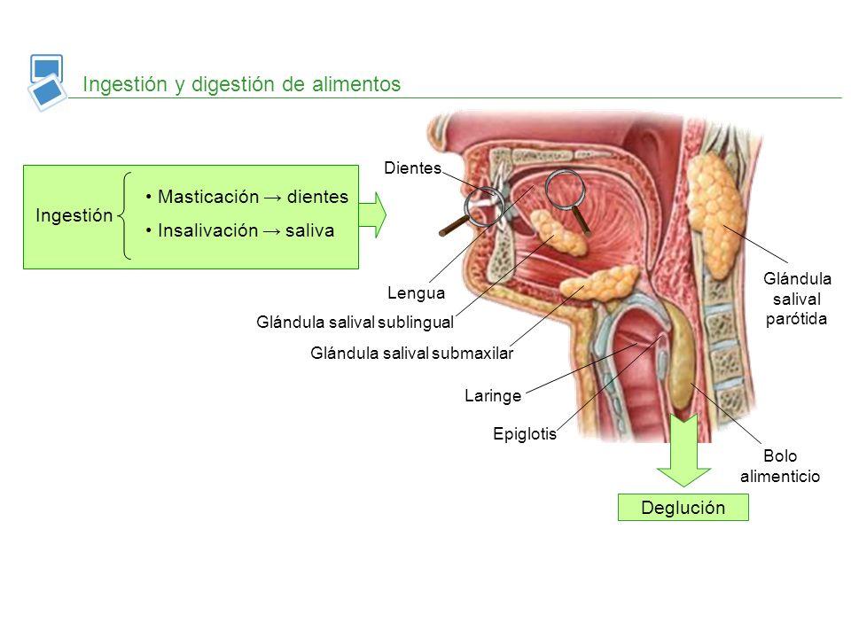 Ingestión y digestión de alimentos Ingestión Masticación dientes Insalivación saliva Dientes Deglución Incisivos Canino Premolares Molares