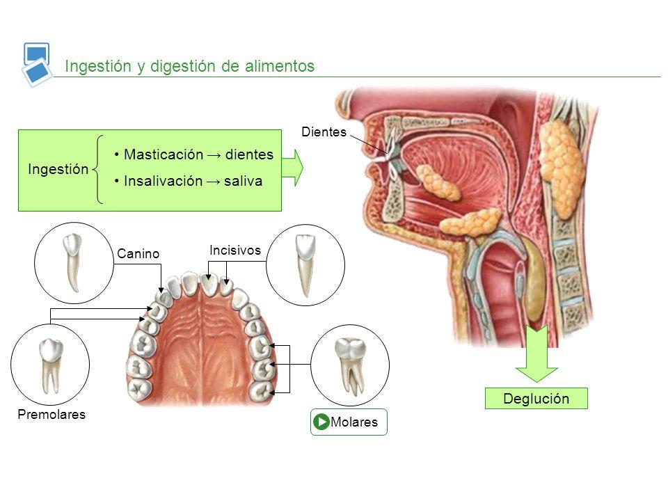 Ingestión y digestión de alimentos Ingestión Masticación dientes Insalivación saliva Dientes Deglución Corona Cuello Raíz Esmalte Marfil Cavidad pulpar Cemento Orificio apical Encía Vasos y nervios