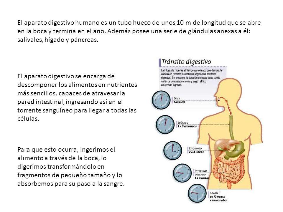El aparato digestivo humano es un tubo hueco de unos 10 m de longitud que se abre en la boca y termina en el ano. Además posee una serie de glándulas