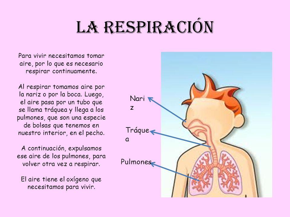 LA RESPIRACIÓN Nari z Pulmones Para vivir necesitamos tomar aire, por lo que es necesario respirar continuamente. Al respirar tomamos aire por la nari