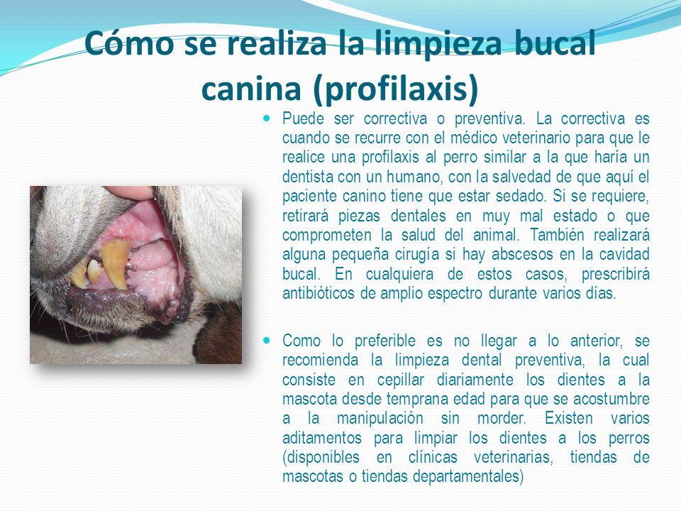 Cómo se realiza la limpieza bucal canina (profilaxis) Puede ser correctiva o preventiva. La correctiva es cuando se recurre con el médico veterinario