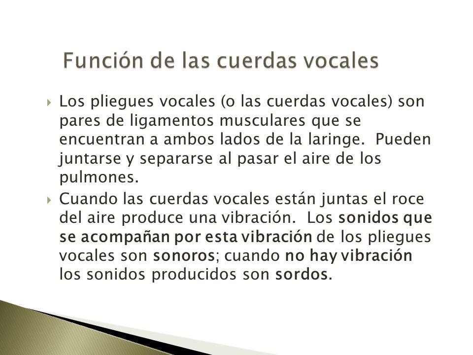 Los pliegues vocales (o las cuerdas vocales) son pares de ligamentos musculares que se encuentran a ambos lados de la laringe. Pueden juntarse y separ