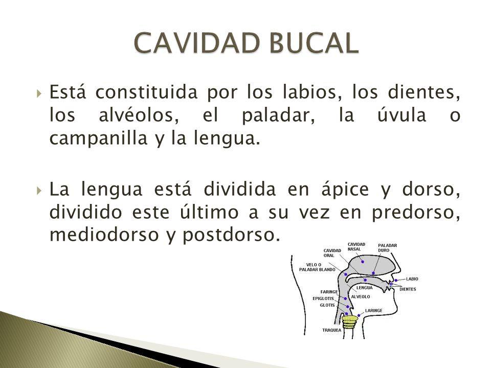Está constituida por los labios, los dientes, los alvéolos, el paladar, la úvula o campanilla y la lengua. La lengua está dividida en ápice y dorso, d