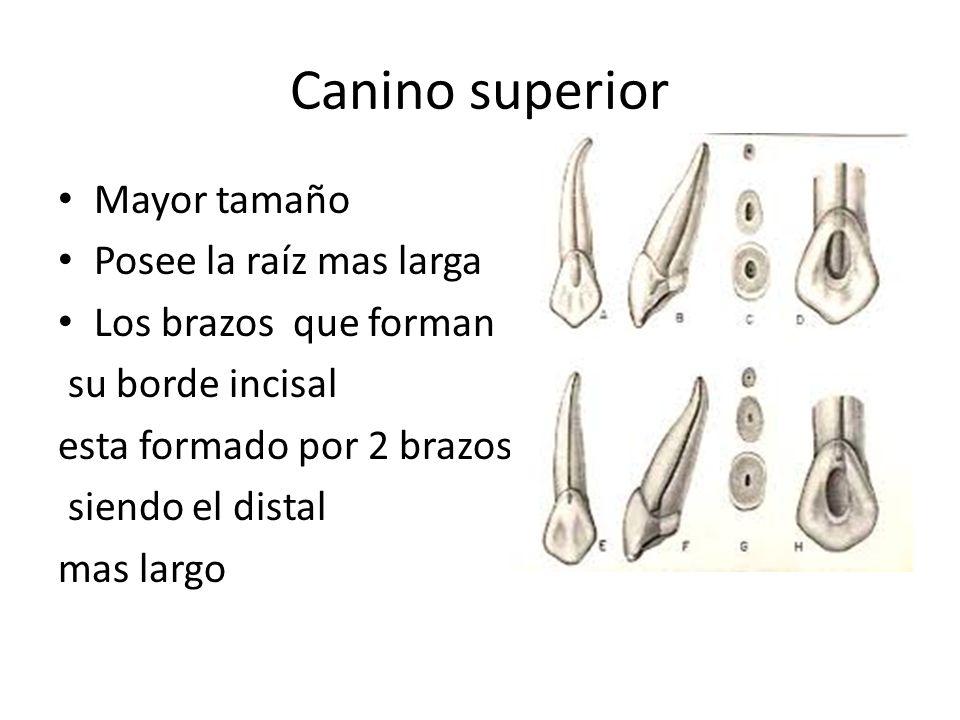 Canino superior Mayor tamaño Posee la raíz mas larga Los brazos que forman su borde incisal esta formado por 2 brazos siendo el distal mas largo