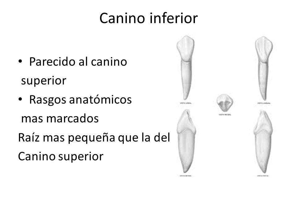 Canino inferior Parecido al canino superior Rasgos anatómicos mas marcados Raíz mas pequeña que la del Canino superior