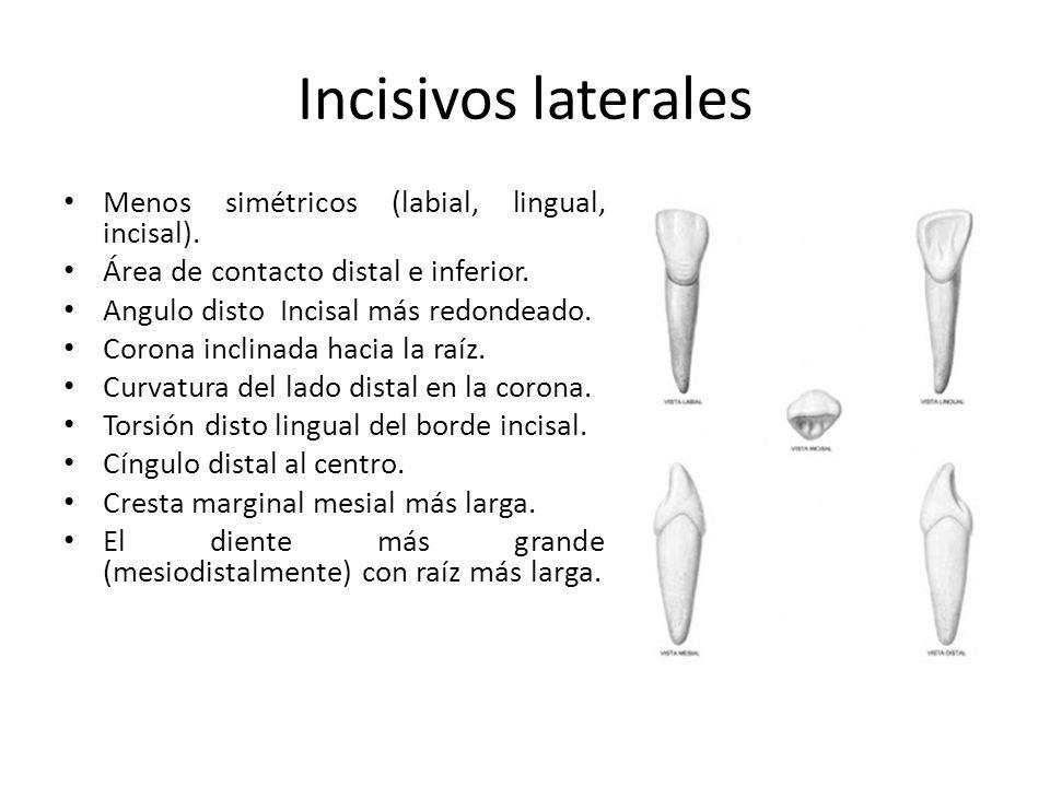 Incisivos laterales Menos simétricos (labial, lingual, incisal). Área de contacto distal e inferior. Angulo disto Incisal más redondeado. Corona incli