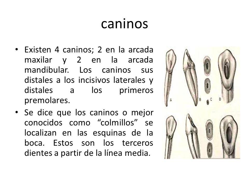 caninos Existen 4 caninos; 2 en la arcada maxilar y 2 en la arcada mandibular. Los caninos sus distales a los incisivos laterales y distales a los pri