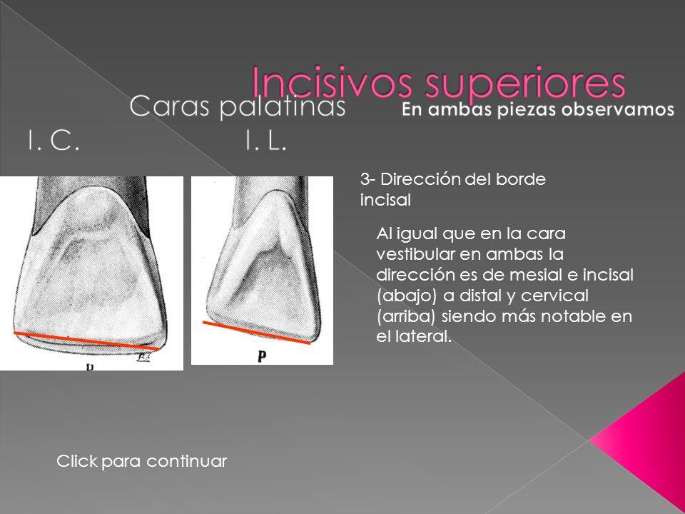 3- Dirección del borde incisal Al igual que en la cara vestibular en ambas la dirección es de mesial e incisal (abajo) a distal y cervical (arriba) si