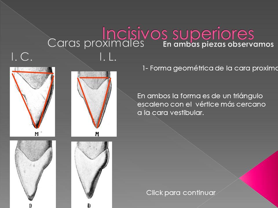 1- Forma geométrica de la cara proximal En ambos la forma es de un triángulo escaleno con el vértice más cercano a la cara vestibular. Click para cont