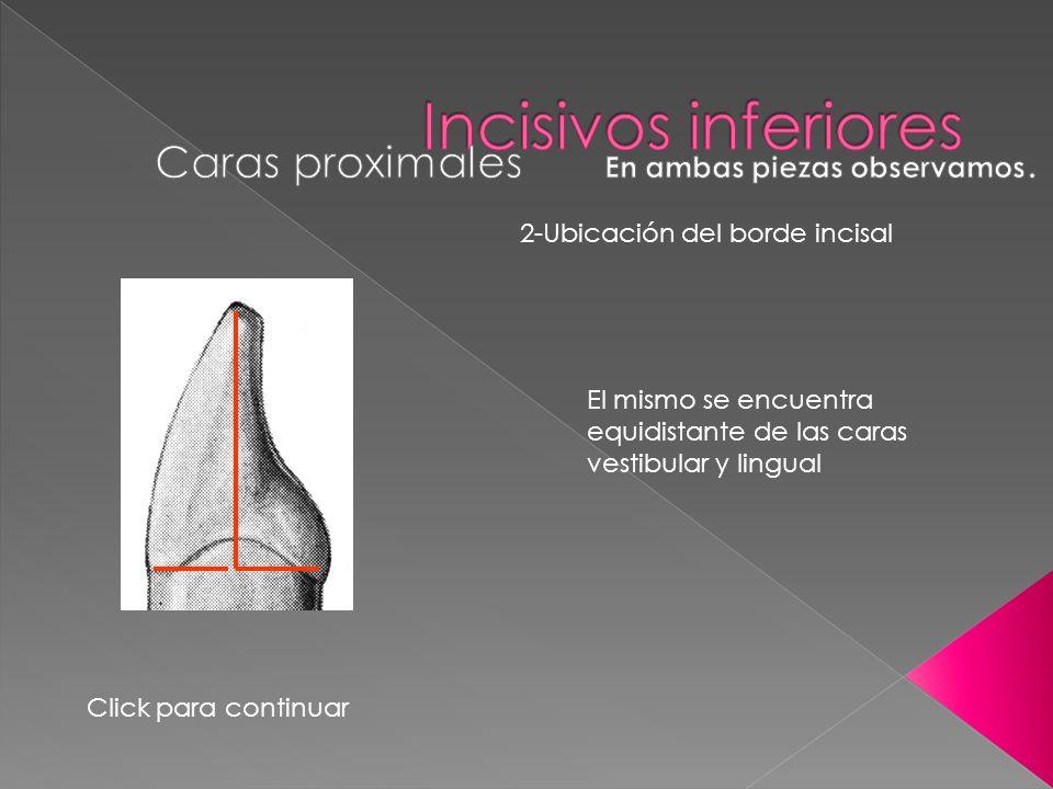 2-Ubicación del borde incisal El mismo se encuentra equidistante de las caras vestibular y lingual Click para continuar
