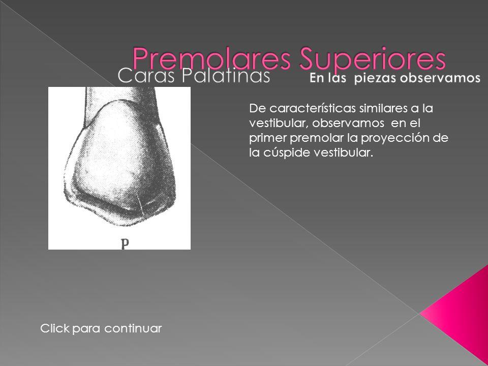 De características similares a la vestibular, observamos en el primer premolar la proyección de la cúspide vestibular. Click para continuar