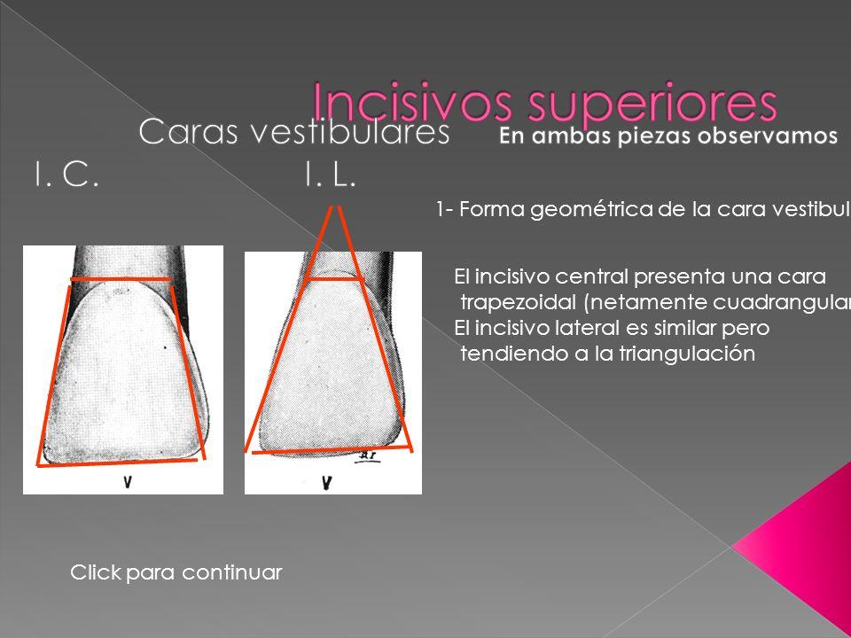1- Forma geométrica de la cara vestibular El incisivo central presenta una cara trapezoidal (netamente cuadrangular) El incisivo lateral es similar pe