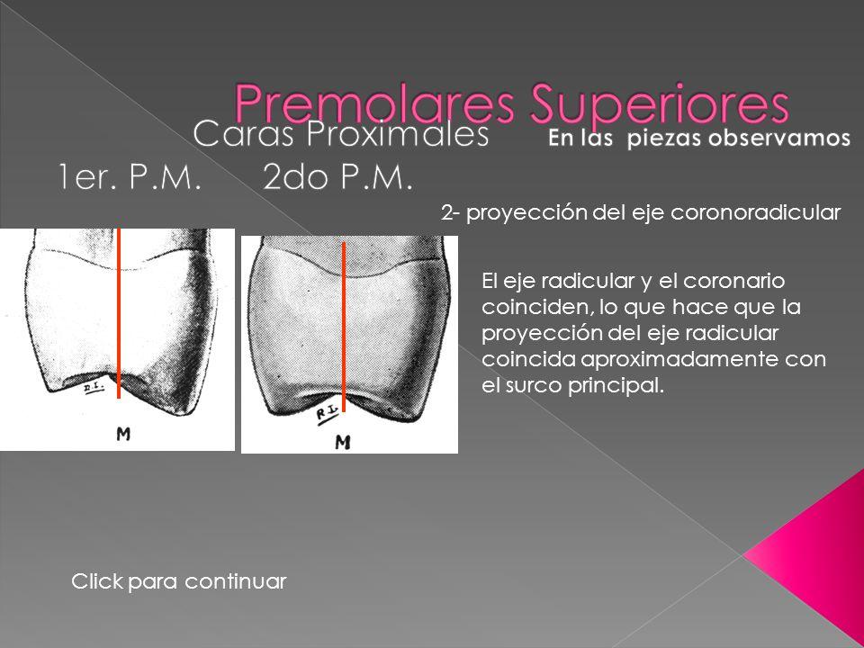 2- proyección del eje coronoradicular El eje radicular y el coronario coinciden, lo que hace que la proyección del eje radicular coincida aproximadame