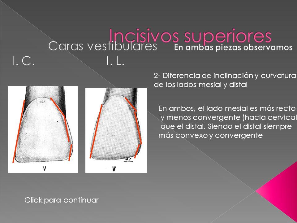 2- Diferencia de inclinación y curvatura de los lados mesial y distal En ambos, el lado mesial es más recto y menos convergente (hacia cervical) que e