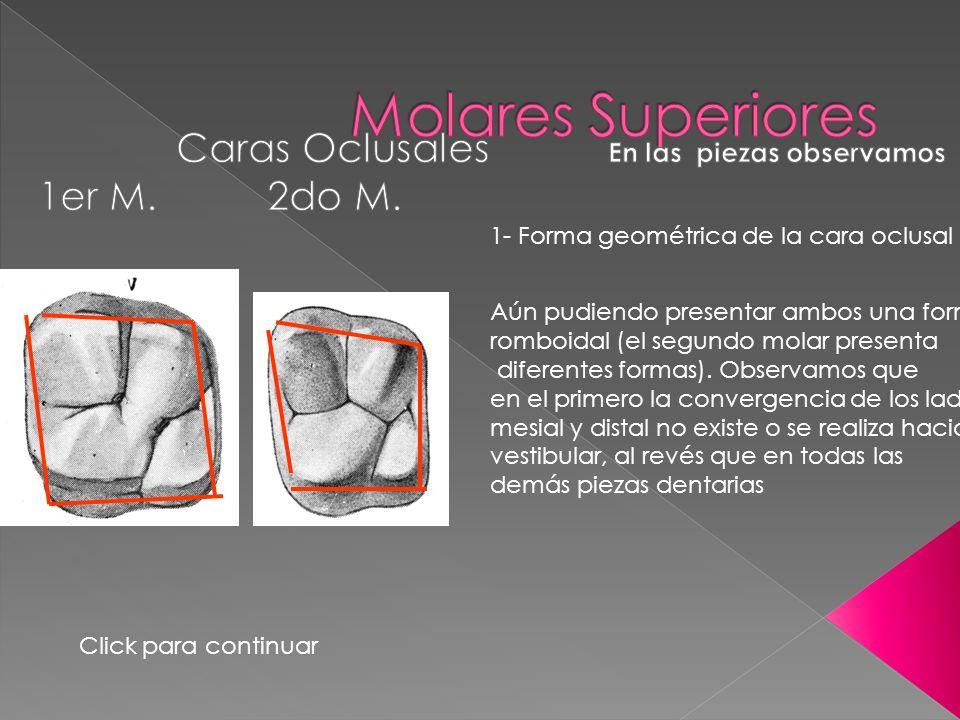 1- Forma geométrica de la cara oclusal Aún pudiendo presentar ambos una forma romboidal (el segundo molar presenta diferentes formas). Observamos que