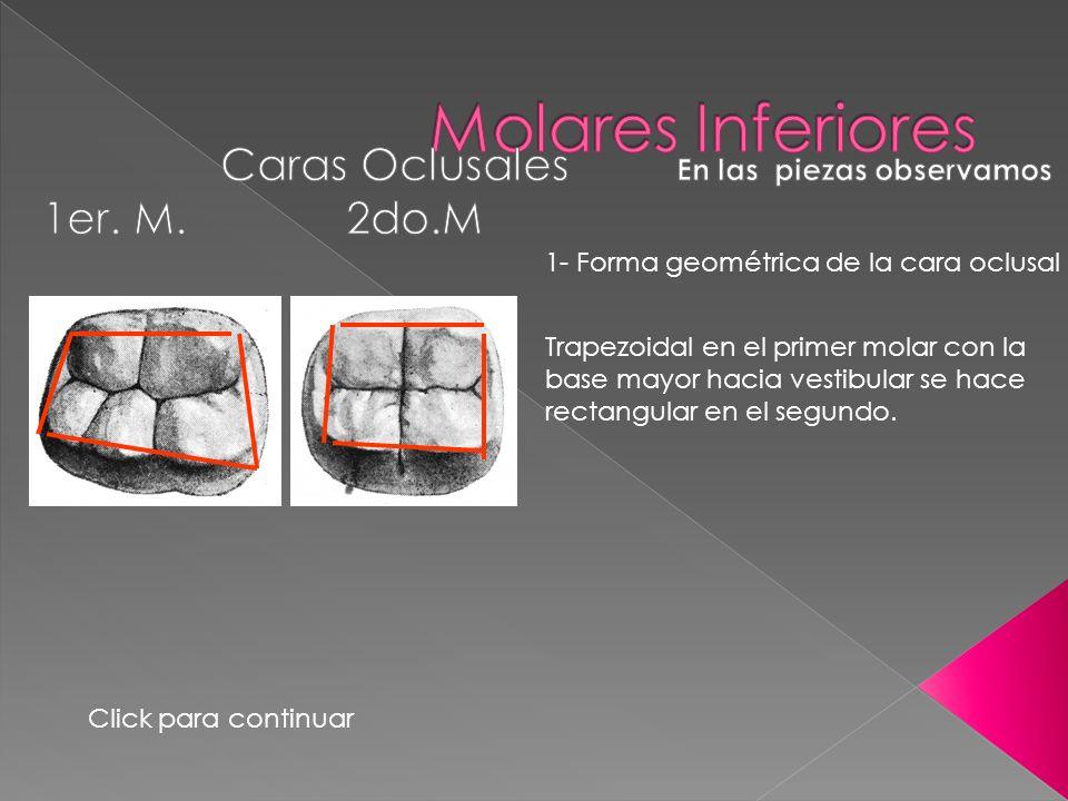 1- Forma geométrica de la cara oclusal Trapezoidal en el primer molar con la base mayor hacia vestibular se hace rectangular en el segundo. Click para