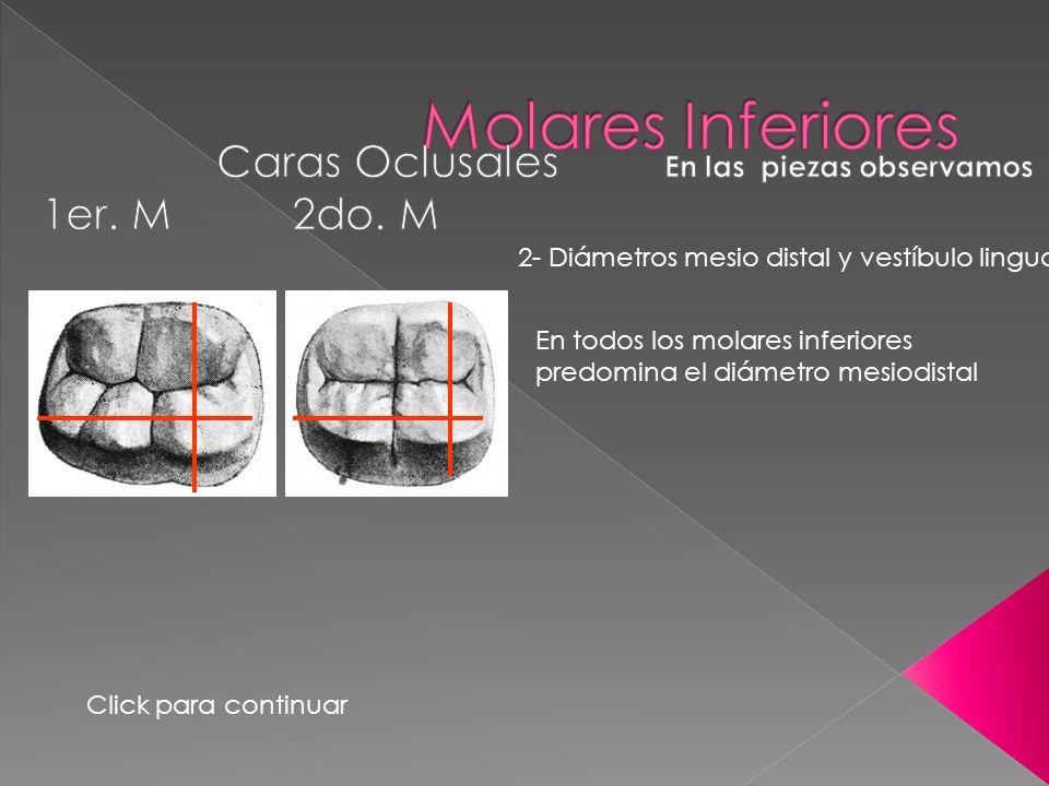 2- Diámetros mesio distal y vestíbulo lingual En todos los molares inferiores predomina el diámetro mesiodistal Click para continuar