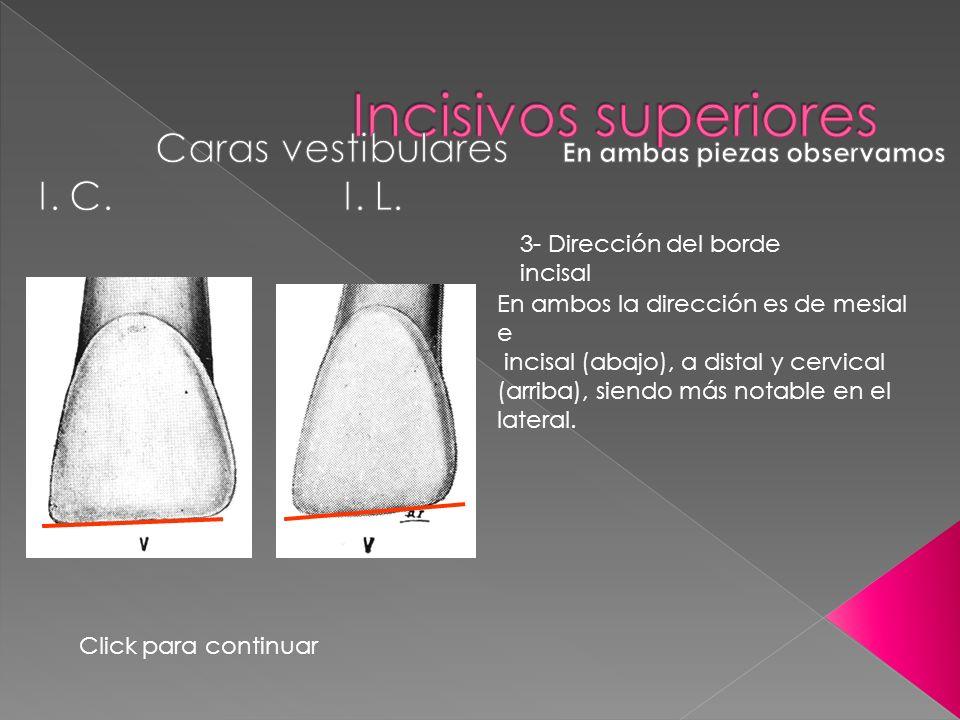 3- Dirección del borde incisal En ambos la dirección es de mesial e incisal (abajo), a distal y cervical (arriba), siendo más notable en el lateral. C