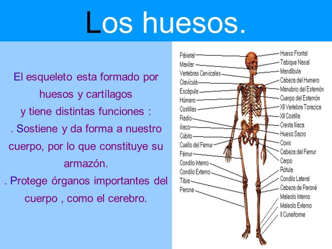 Los huesos. El esqueleto esta formado por huesos y cartílagos y tiene distintas funciones :. Sostiene y da forma a nuestro cuerpo, por lo que constitu
