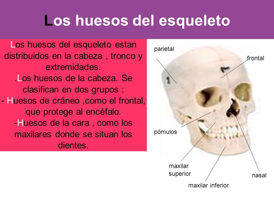 Los huesos del esqueleto Los huesos del esqueleto estan distribuidos en la cabeza, tronco y extremidades..Los huesos de la cabeza. Se clasifican en do