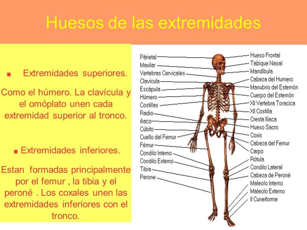 Huesos de las extremidades. Extremidades superiores. Como el húmero. La clavícula y el omóplato unen cada extremidad superior al tronco.. Extremidades