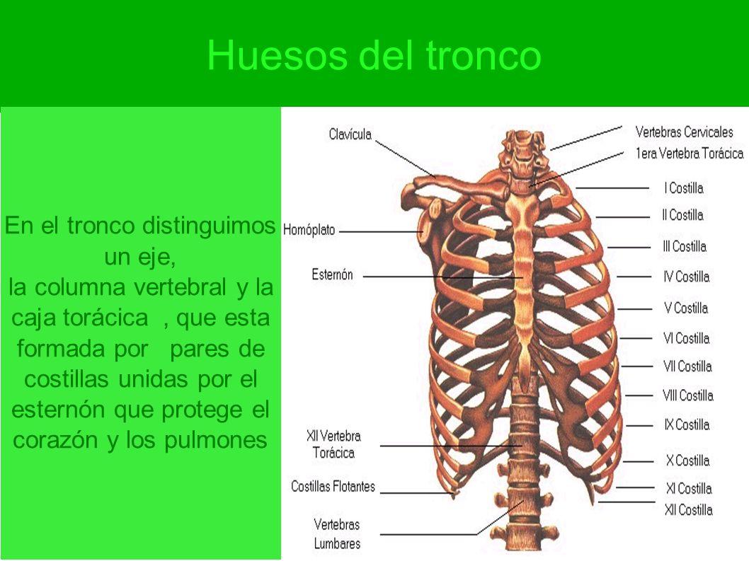Huesos del tronco En el tronco distinguimos un eje, la columna vertebral y la caja torácica, que esta formada por pares de costillas unidas por el est