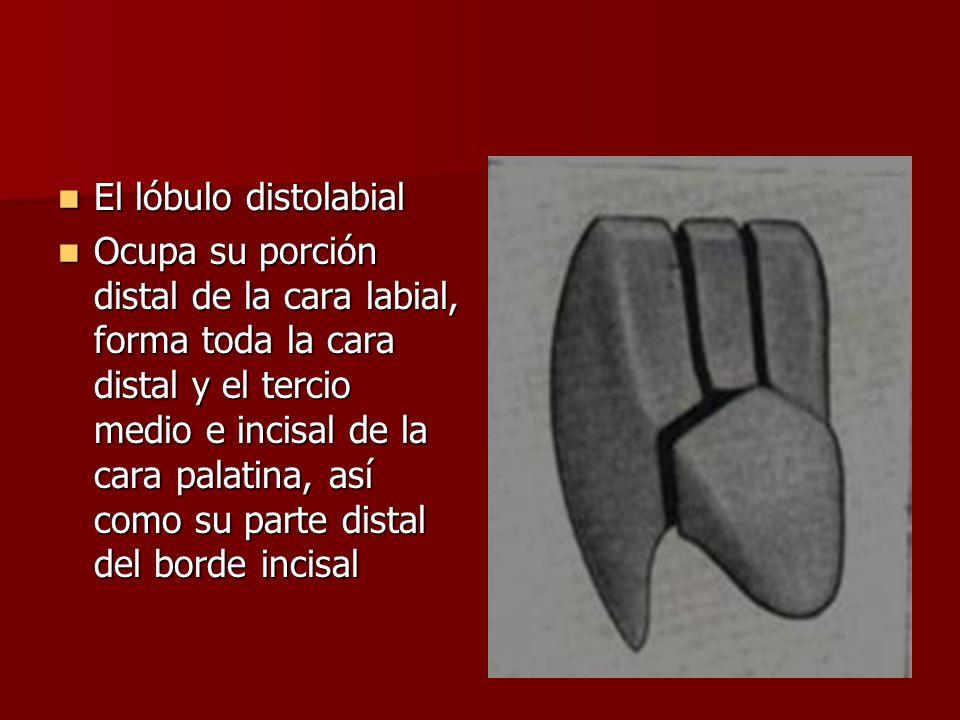 El lóbulo distolabial El lóbulo distolabial Ocupa su porción distal de la cara labial, forma toda la cara distal y el tercio medio e incisal de la car
